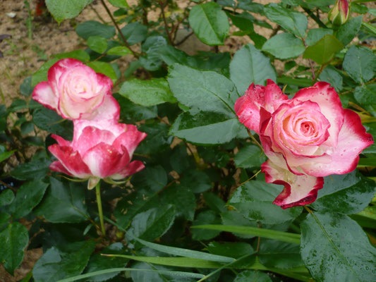 Rose 'Jubilé Prince de Monaco'