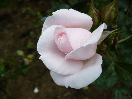 Rose 'jardin de Granville