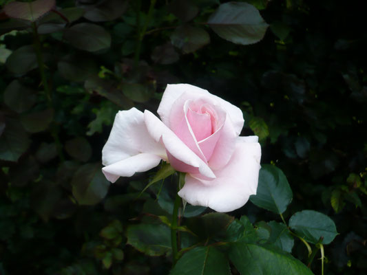Rose 'Vercors'