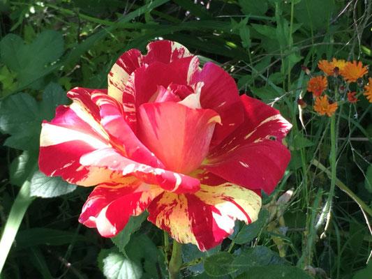 Rose 'Mélo-Mélo'