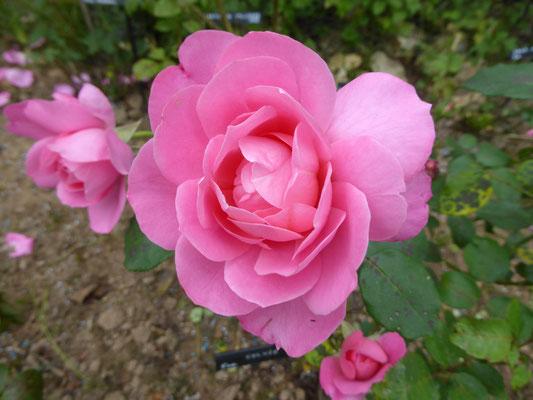 Rose 'Sylvie Vartan'