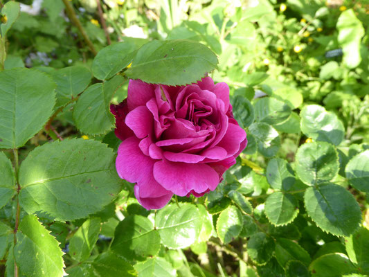 Rose 'Princess Ann'