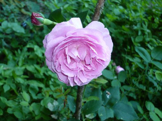 Rose 'Reine Victoria'   Pernet 1864