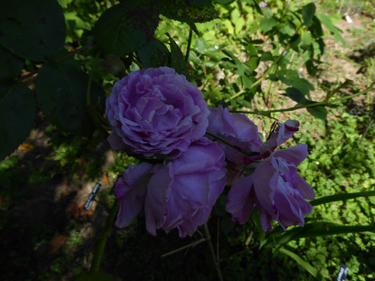 Rose 'Boubon Queen'