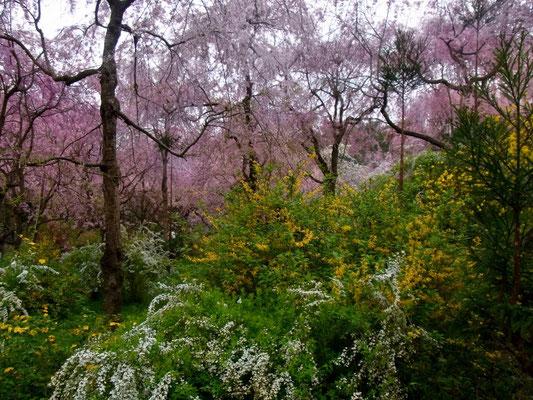 「枝垂桜」「雪柳」「連翹」「山吹」
