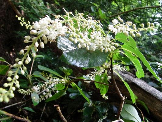 「リョウブ(樹木)」の花7/22比叡山