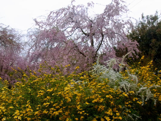 「しだれ桜」「山吹」「雪柳」