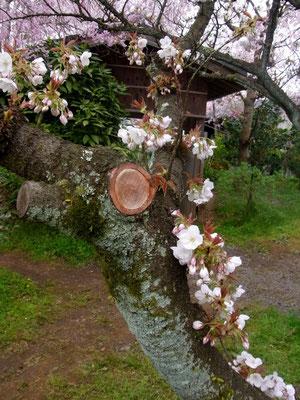 「御室桜」