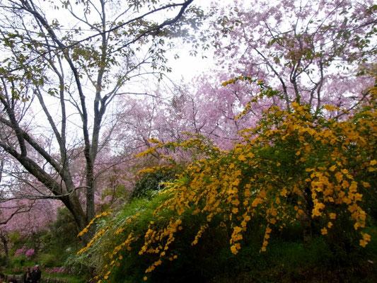 「枝垂桜」「山吹」