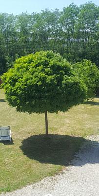 Mercredi 27 mai 2020 Pendant le déconfinement je regarde mes arbres pousser. Il y a au fond du jardin des arbres fruitiers : cerisier, pommier, pêcher, noisetier et noyer. On a aussi un mûrier-platane et un liquidambar pour faire de l'ombre sur la terrass