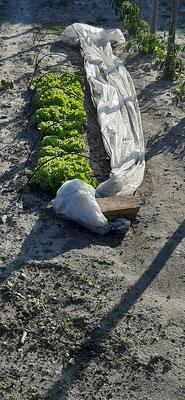 Salades ayant poussées confinées sous la bâche ....
