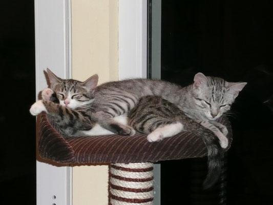 Kater unterdrückt Katze