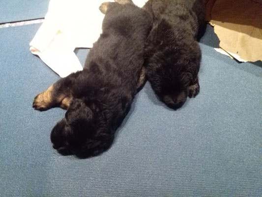 zwei schwarzmarkene Bären unter sich