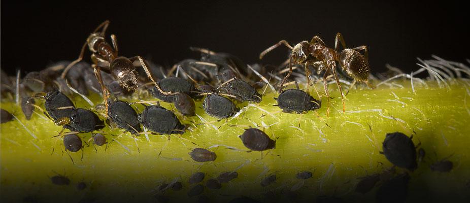 Ameisen beim Melken