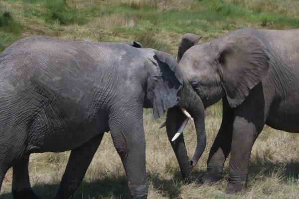 spielende Elefanten / playing elephants