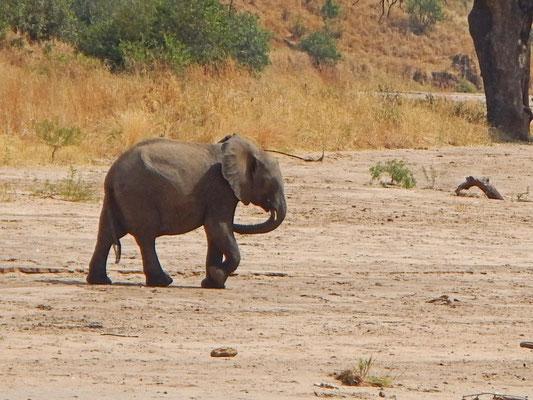 Elefant im tarangire / Elephant in Tarangire