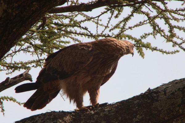 Adler / Eagle