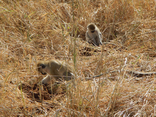 Affen im  Tarangire NP / Monkeys in Tarangire