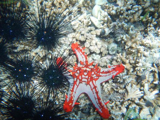 Seestern / starfish
