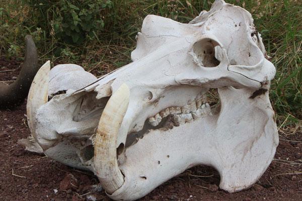Flusspferd-Schädel im Manyara NP / Hippo skull in the Manyara NP