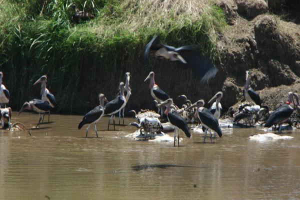 Marabus im Mara