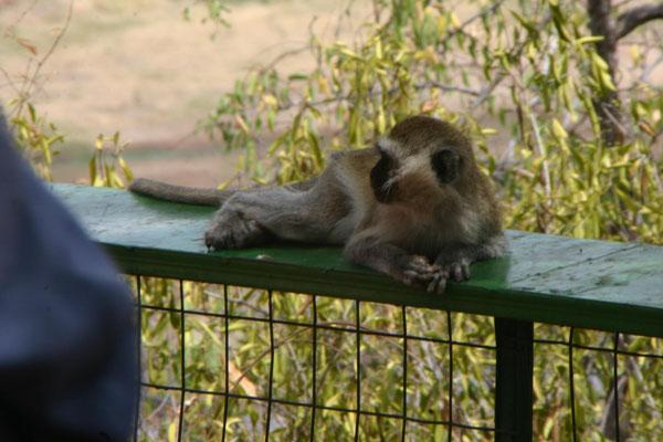 Affe im Tarangire NP / Monkey in Tarangire NP