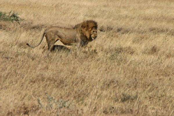 Liebe der Löwen / Love of the lions