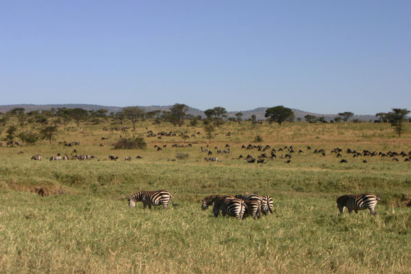 Migration in der Serengeti / Migration in the serengeti