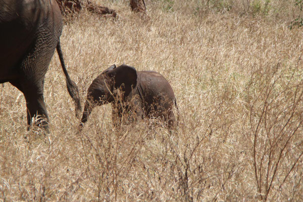 Baby Elefant im Tarangire NP / Baby elephant in Tarangire NP