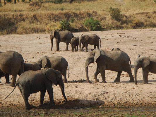 Elefanten im Taranmgire / Elephants in Tarangire