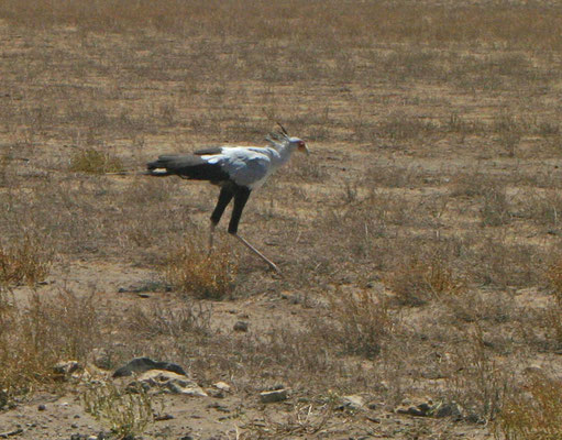 Sekretärvogel /Secretary bird