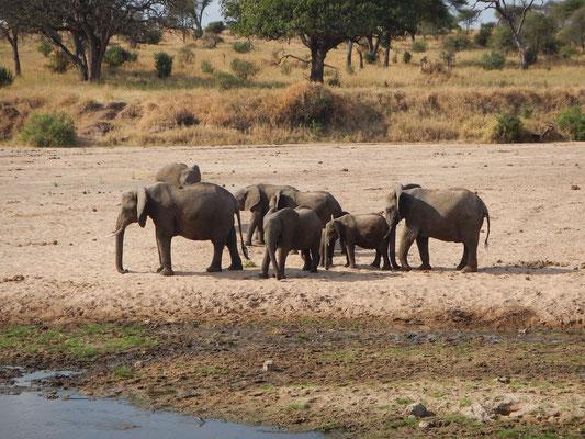 Elefanten im Tarangire / Elephants in Tarangire
