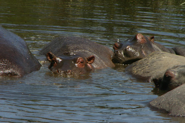 Flusspferde im ngorongoro / hippos in the ngorongoro