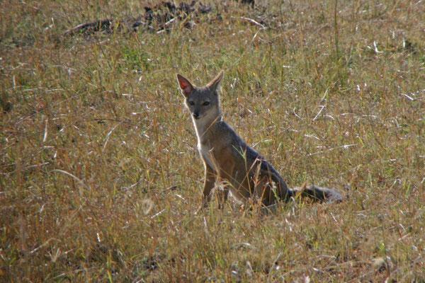 Schakal in der Serengeti / Jackal in the serengeti
