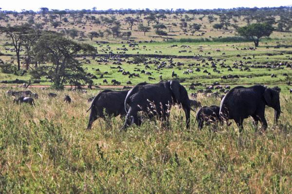 Migration in der Serengeti / Migration in the serengeti