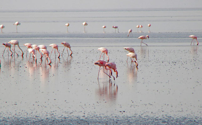 Flamingos am Lake Natron / Flamongos at the Lake Natron