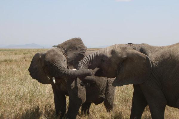 liebende Elefanten / loving elephants