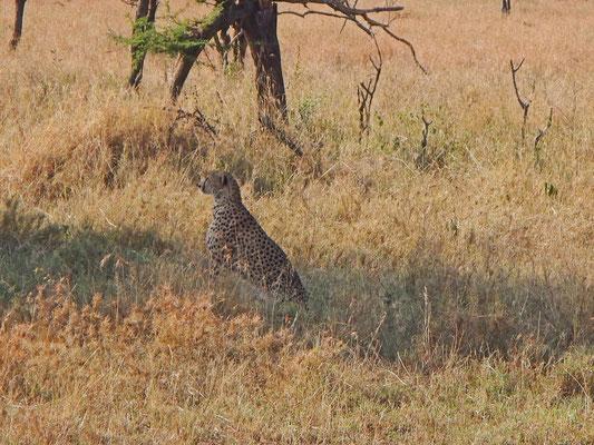Gepard in der Serengeti / Cheetahs in the serengeti
