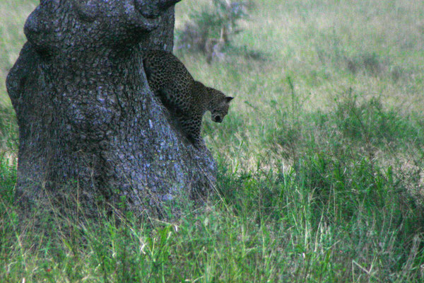 Leopard in der Serengeti