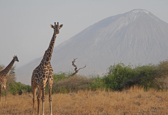 Giraffe am Lake Natron / Giraffe on the Lake Natron