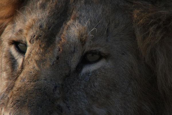 Löwenauge / Lion eye