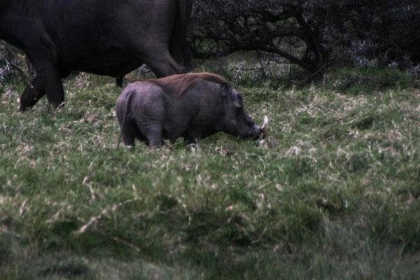 Warzenschein im Arusha NP / Warthog in the Arusha NP