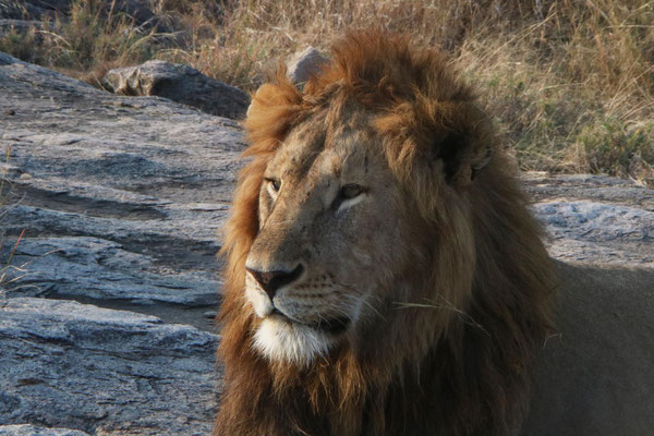 Löwe / Lion