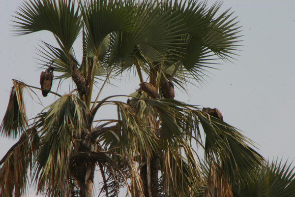 Palme mit Geiern im Tarangire NP / Palm tree with vulture in Tarangire NP