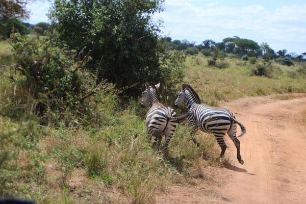 Zebras im Tarangire NP
