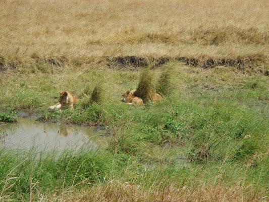 junge Löwen in der Serengeti / young lions in the serengeti