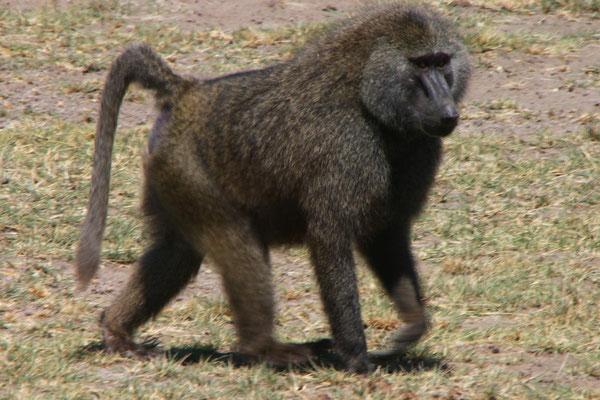 Pavian im Manyara NP / Pavian in the Manyara NP