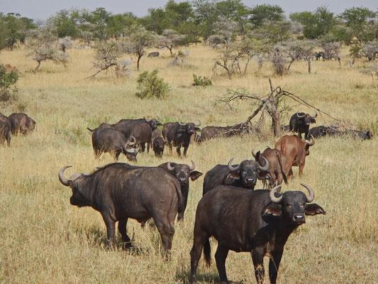 Büffel in der Serengeti / Buffaloes in the serengeti