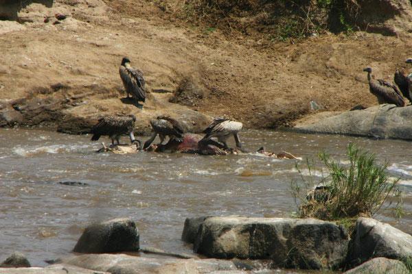 Geier im Mara / Vulture in the mara