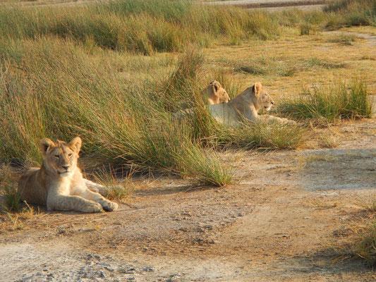 Löwenfamilie / Lion family